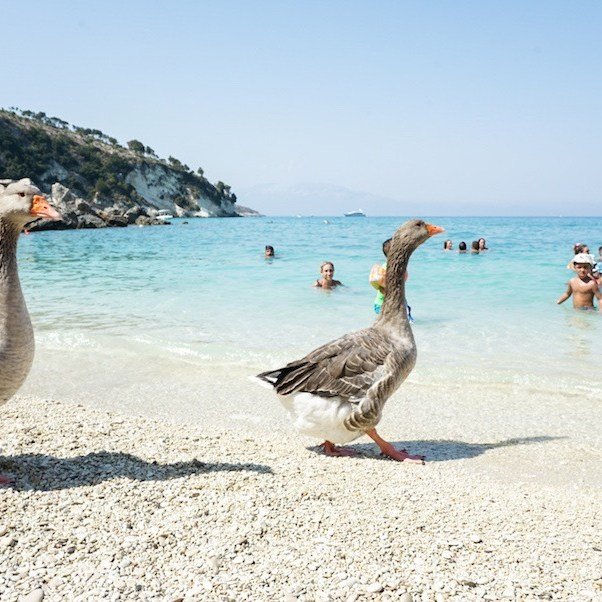 Ocas paseando en la playa Xigia Beach, isla Zakynthos