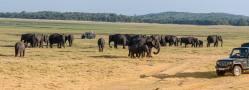 Concentración de decenas de elefantes al atardecer en el parque Minneriya