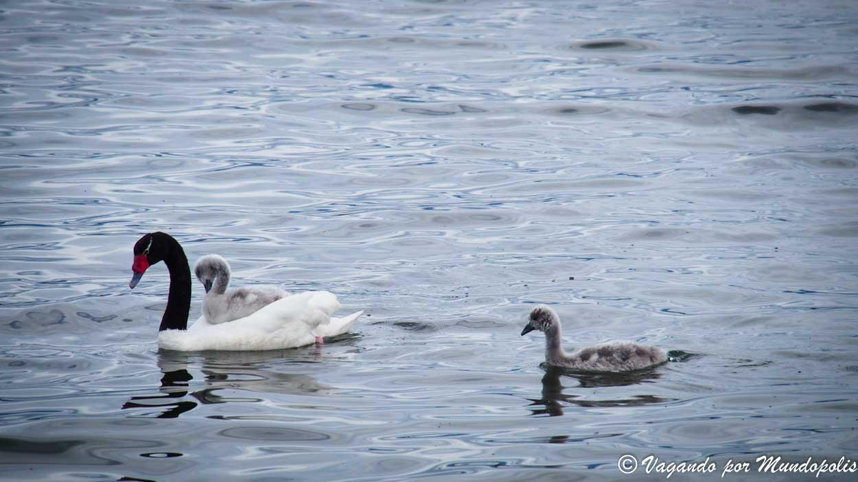 cisnes-cuello-negro-puerto-natales