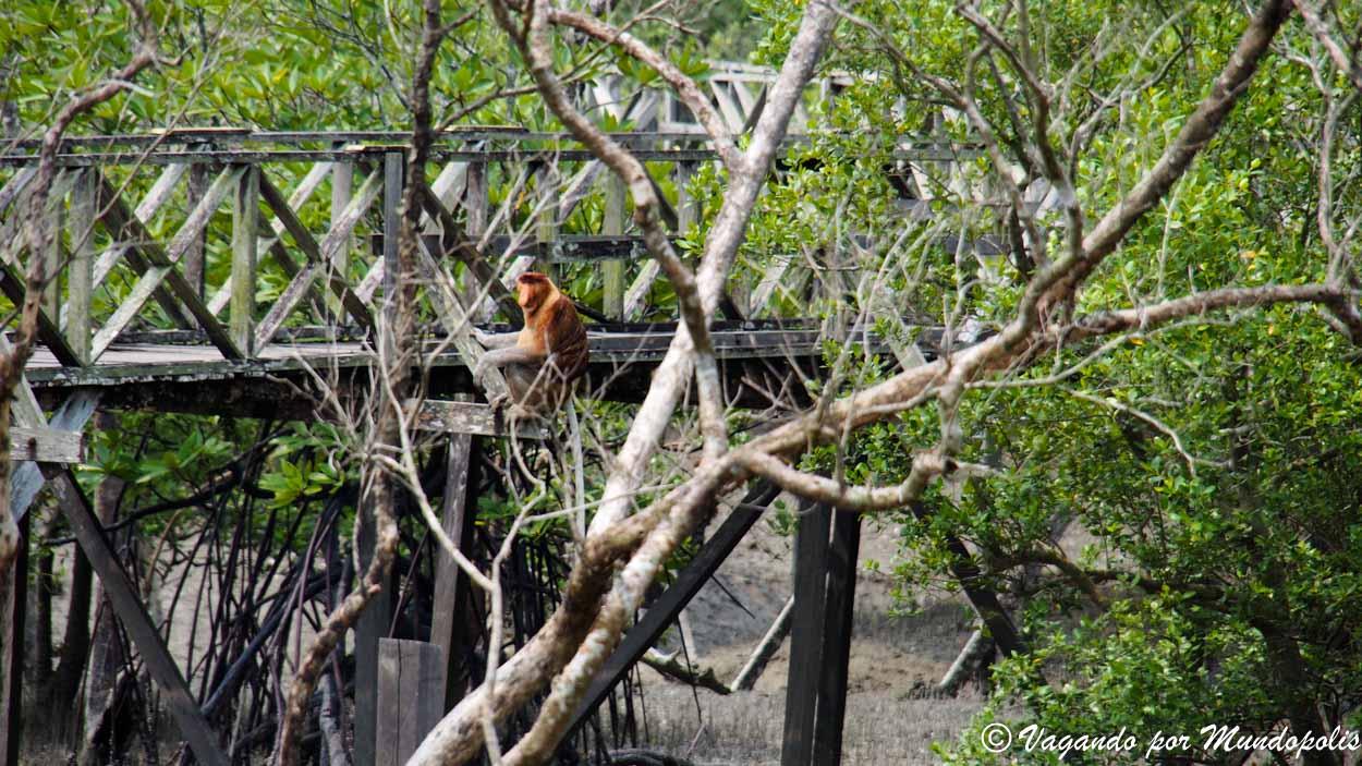 monos-narigudos-borneo