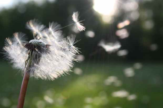 white dandelion flower shallow focus photography with seeds flying away for future growth