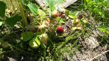 strawberries have started