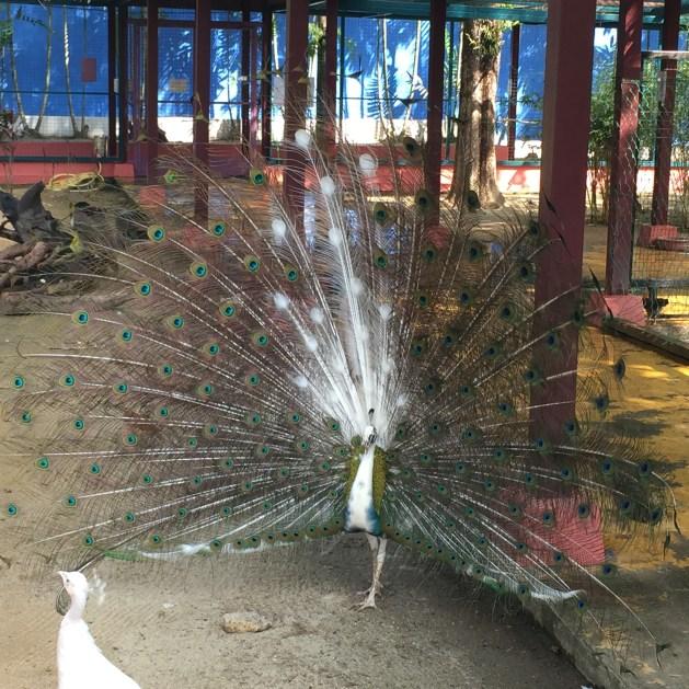 Peacock in wildlife park