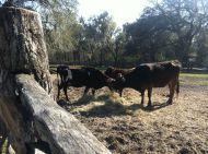 Cow1_Middleton