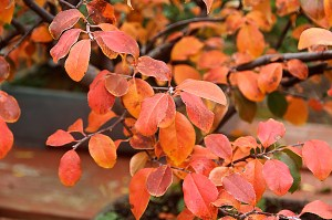 LEAVES CHINESE QUINCE