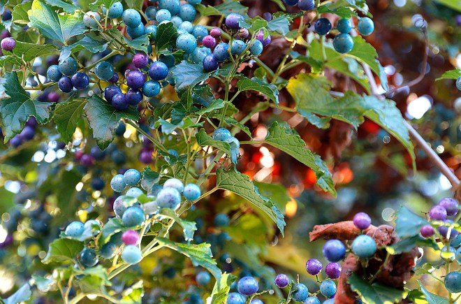 p-berries