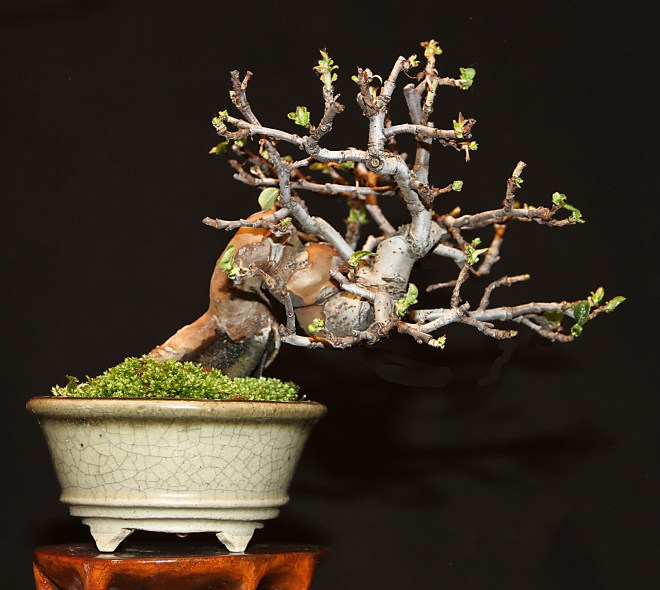 CHINESE QUINCE BACK.jpg