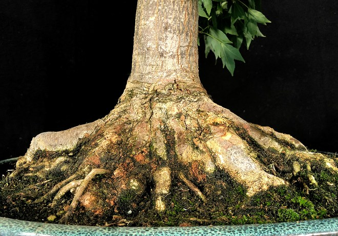 SMALL TRIDENT ROOTS