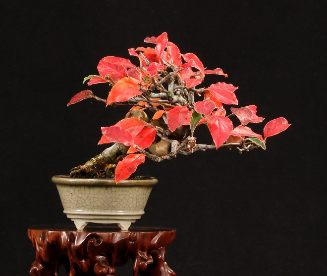 CHINESE QUINCE HC