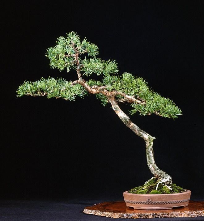 A Scots Pine Bonsai Valavanis Bonsai Blog