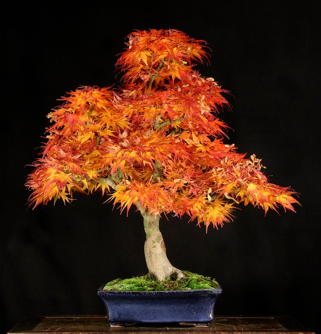 DWARF MAPLE BONSAI FRONT.jpg