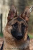 chiens de berger allemand