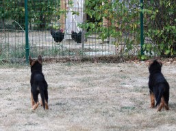 decouverte-poules_160918