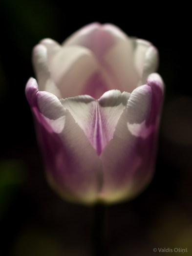 Tulpes_VO_5070090