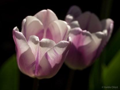Tulpes_VO_5070097