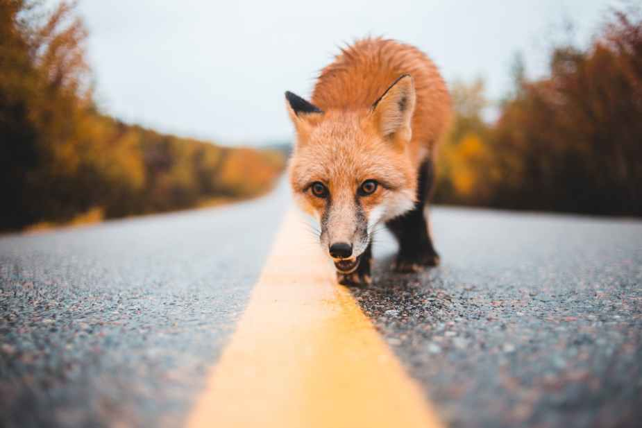 colorful fox walking on empty road