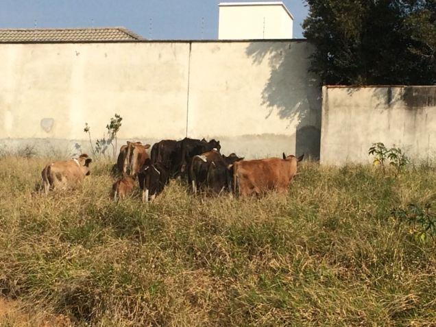 vaca6