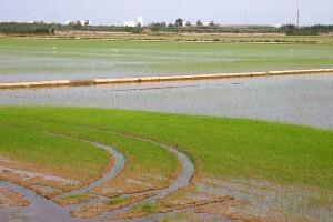 Campos de arroz en L'Albufera