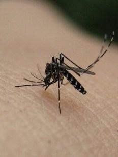 Picadura del mosquito Tigre.