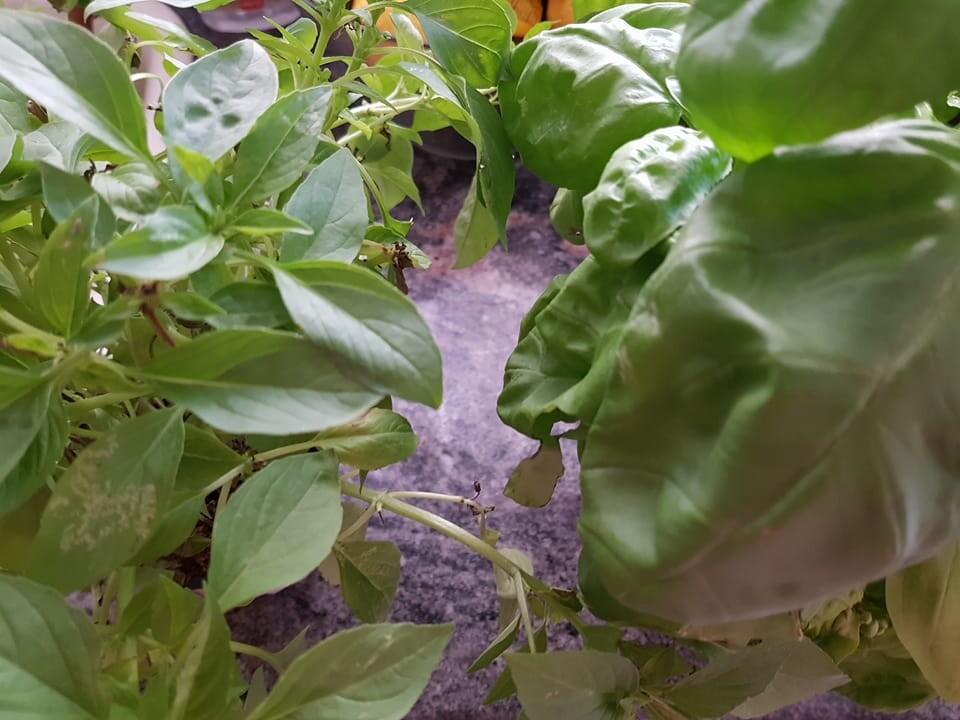 Recetas para hacer repelentes caseros albahaca (5)