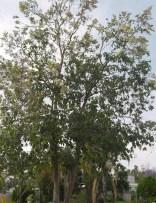 flowering trees found in bourke