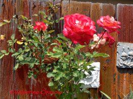 RosesOnTheFence