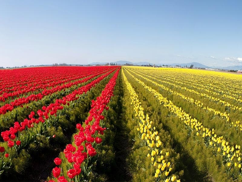 Fields of varied colored tulips in Skagit County