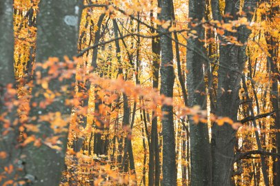 Foliage in Faggeta