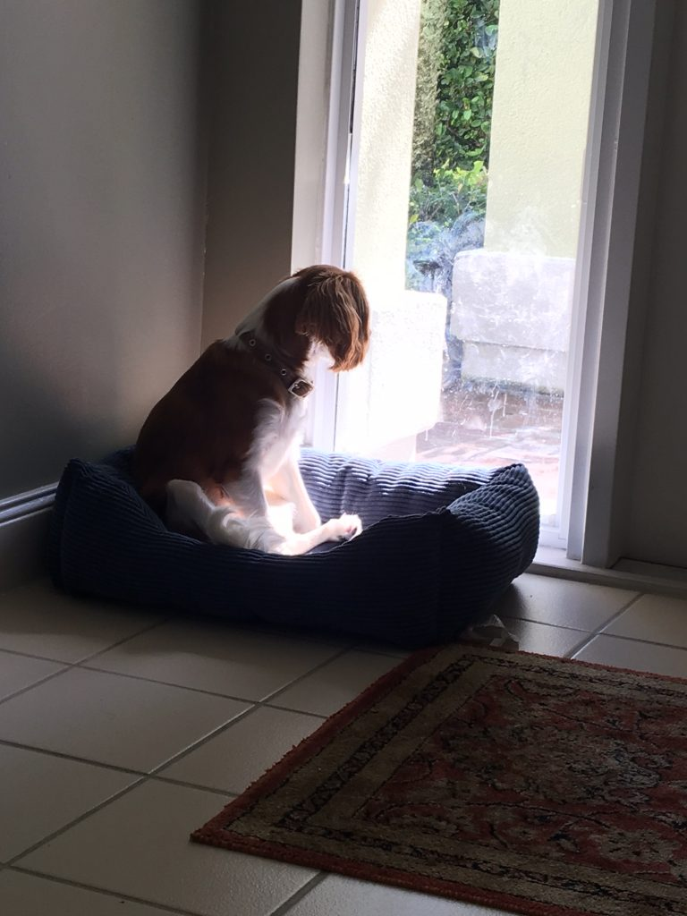 Piper gazing out the window - Tony Angiuli Florida