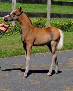 grand-admiral-mini-stallion-champion-breeder-2b