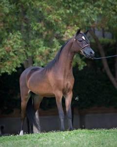 justified-an-mini-stallion-champion-breeder