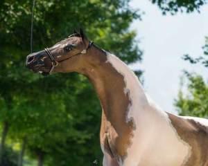 piper mare champion mini horse