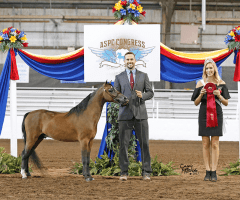 justified-an-mini-horse-stallion-champion-breeder
