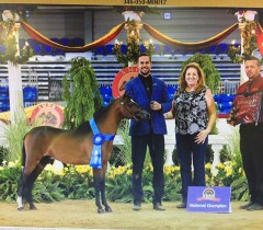 justified-an-miniature-horse-stallion national champion