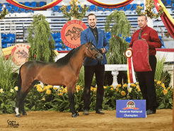 national champion mini horse Valhalla Farm Stallion Justin
