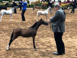 For SaleValhalla Farm, Just Call Me Awesome, winner champion mini horse