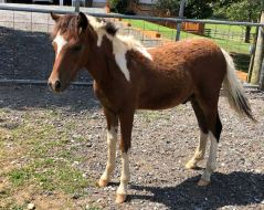 for sale pinto colt valhalla farm mini horse