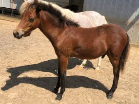 mini show horse for sale champion gelding Valhalla Farm