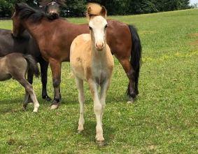 champion mini shetland horse Valhalla Farms
