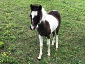 mini-horse-for-sale-champion-colt-Valhalla-Farms War Hawk