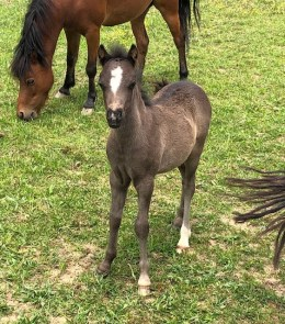 for sale AMHR/ASPC Registered yearling Show Quality colts fillies mini horse Valhalla horse farm