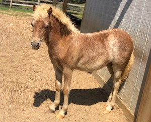 For Sale Show Quality mini horses fillies fily Valhalla Farms