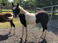 war hawk mini-horse-for-sale-champion-colt-Valhalla-Farms