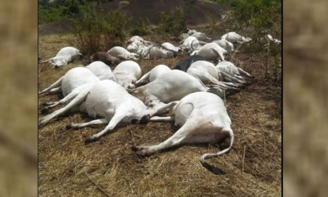 Thunder kills 36 cows after it strikes in Ondo community