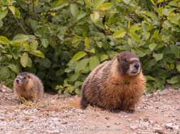 marmots - val in real life