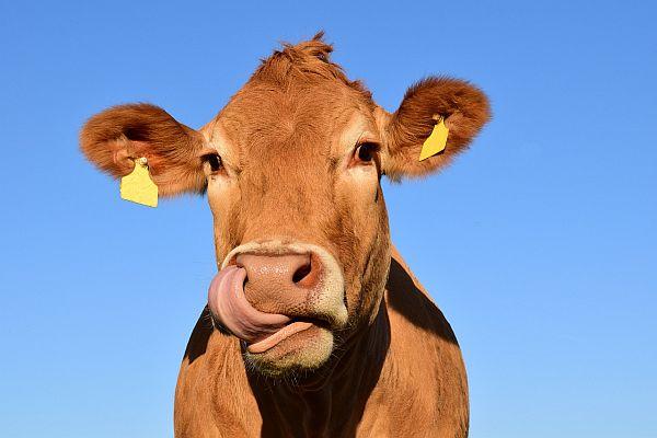 mucca-lingua-leccata