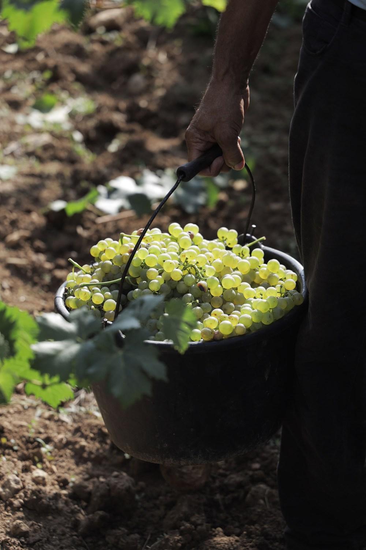 Vendange Vin Raisin Blanc Vignes Var Provence