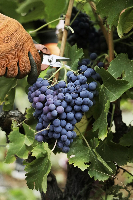 Vendange Vignes Raisin Vin Rouge Château Marguï