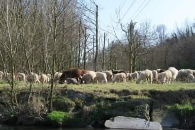 pecore_fagnano