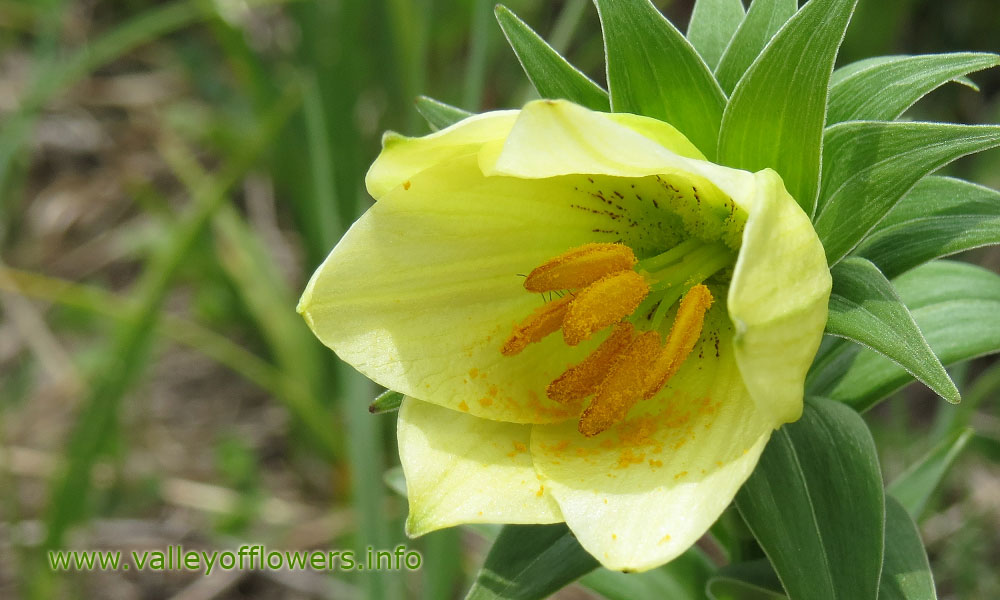 Golden Lilly in the month of June, this flower can be seen till 2nd week of July